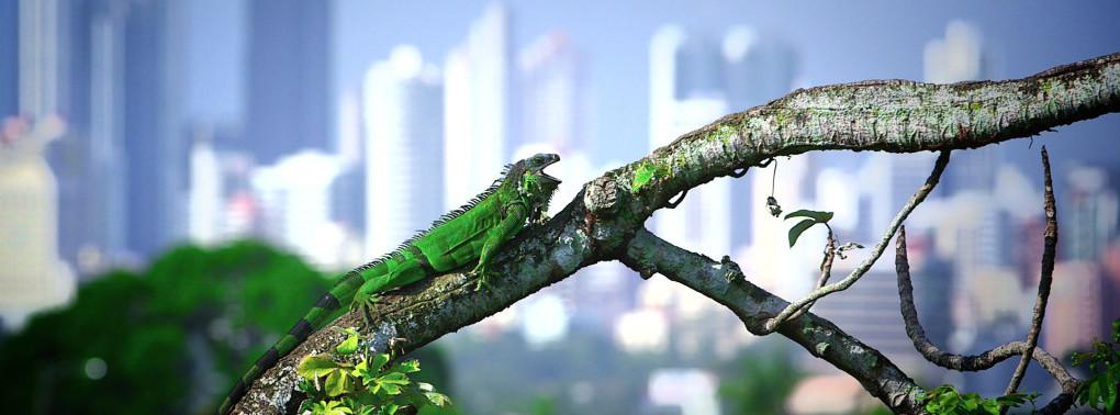 Iguanas à la carte